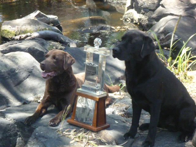 Beereegan Labradors – Labradors, Smythesdale, Vic
